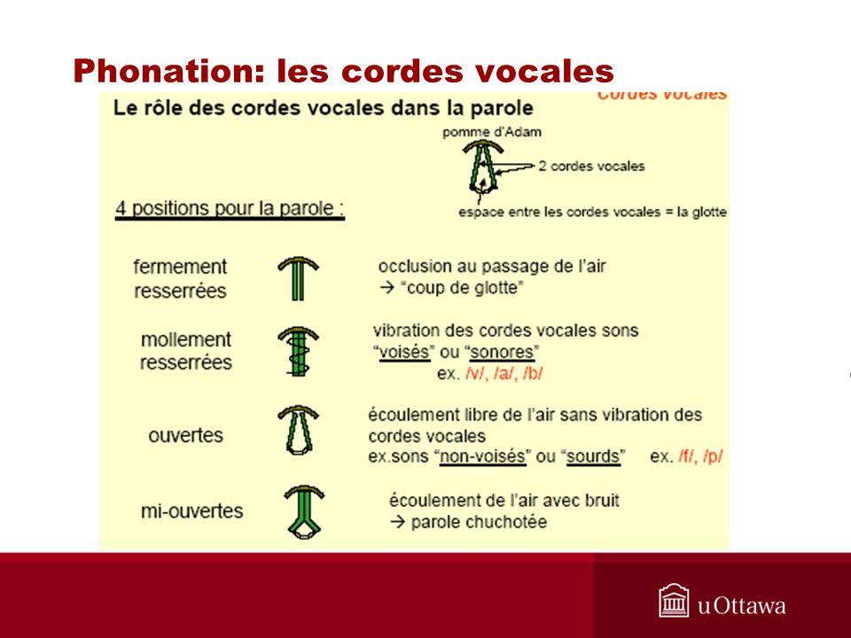 Phonation: les cordes vocales