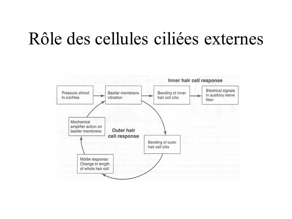 Rôle des cellules ciliées externes