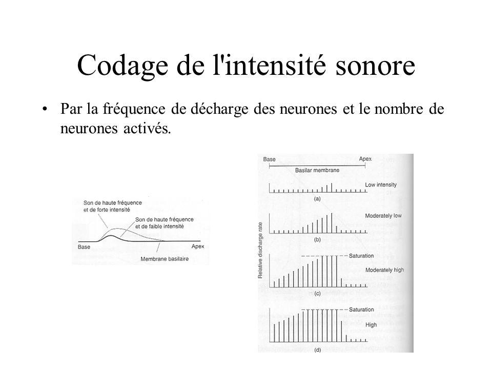Codage de l'intensité sonore Par la fréquence de décharge des neurones et le nombre de neurones activés.