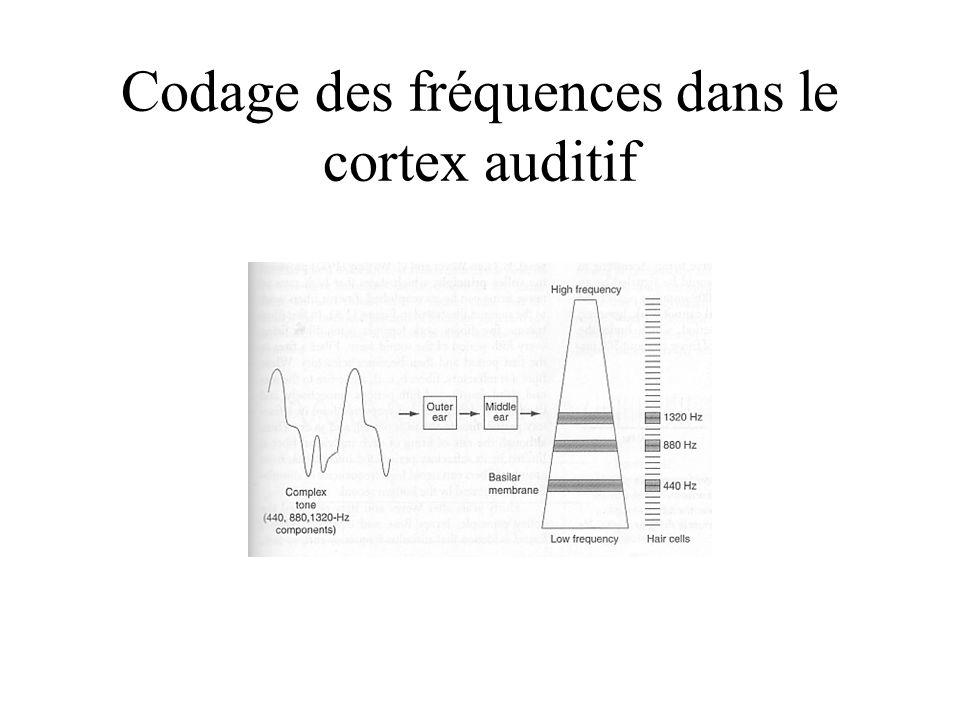 Codage des fréquences dans le cortex auditif
