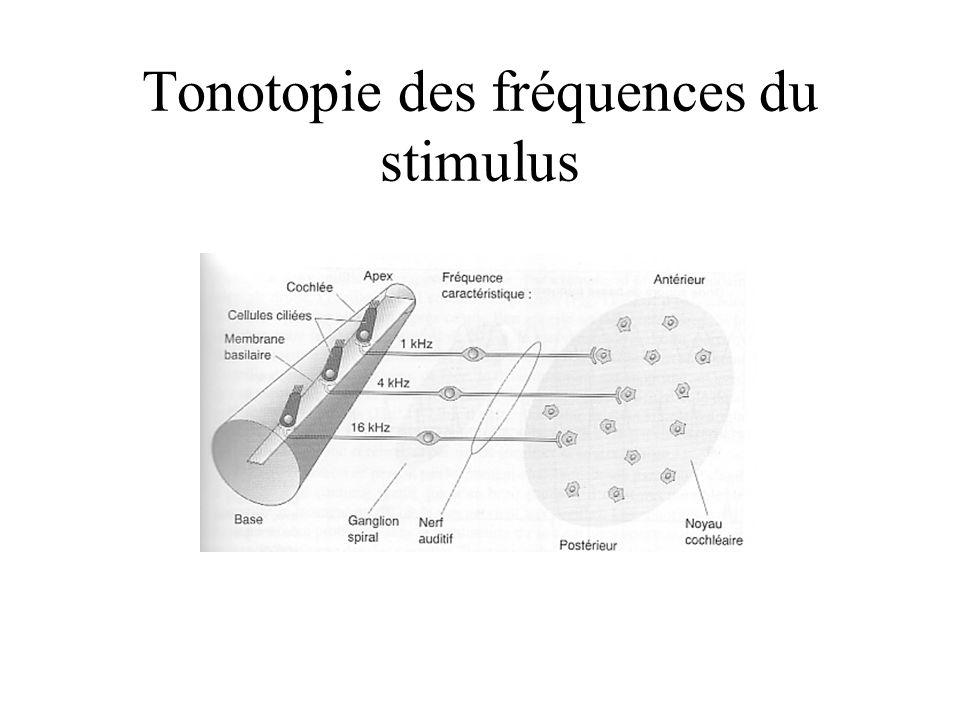 Tonotopie des fréquences du stimulus