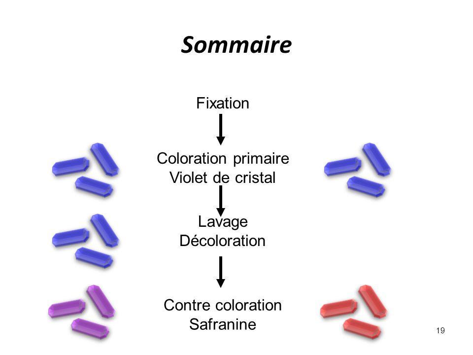 Sommaire 19 Fixation Coloration primaire Violet de cristal Contre coloration Safranine Lavage Décoloration