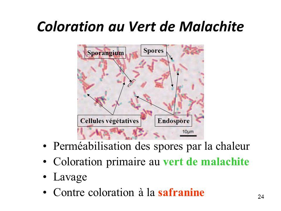 Coloration au Vert de Malachite Perméabilisation des spores par la chaleur Coloration primaire au vert de malachite Lavage Contre coloration à la safranine 24 Cellules végétatives Spores Endospore Sporangium