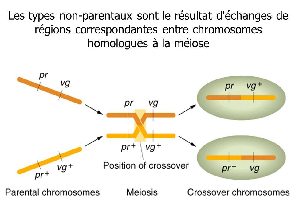 Les types non-parentaux sont le résultat d'échanges de régions correspondantes entre chromosomes homologues à la méiose