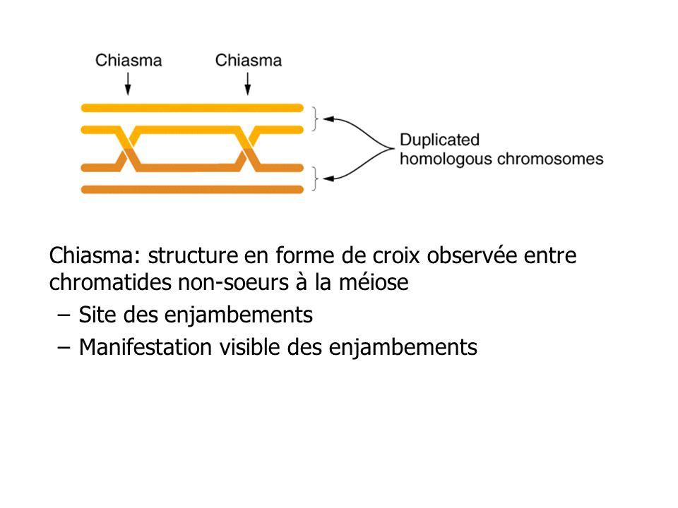 Chiasma: structure en forme de croix observée entre chromatides non-soeurs à la méiose –Site des enjambements –Manifestation visible des enjambements
