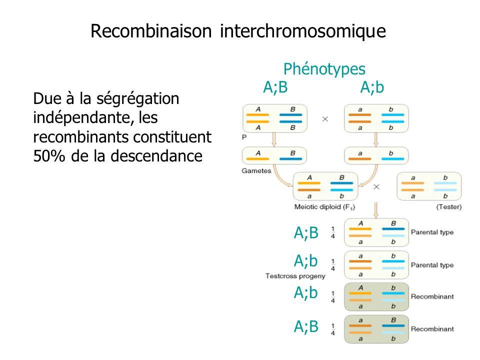Recombinaison interchromosomique Due à la ségrégation indépendante, les recombinants constituent 50% de la descendance A;BA;b Phénotypes A;B A;b A;B