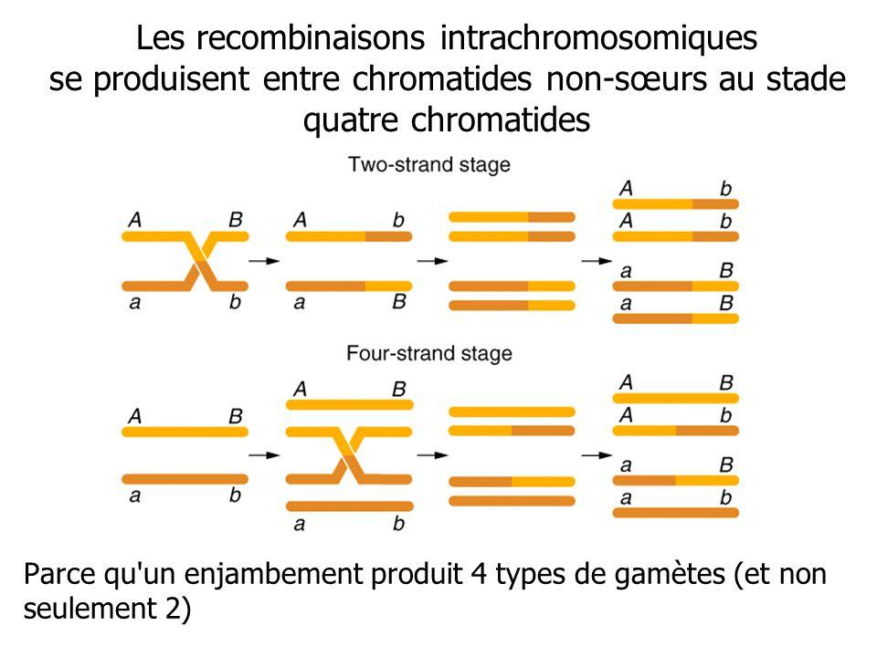 Les recombinaisons intrachromosomiques se produisent entre chromatides non-sœurs au stade quatre chromatides Parce qu'un enjambement produit 4 types d