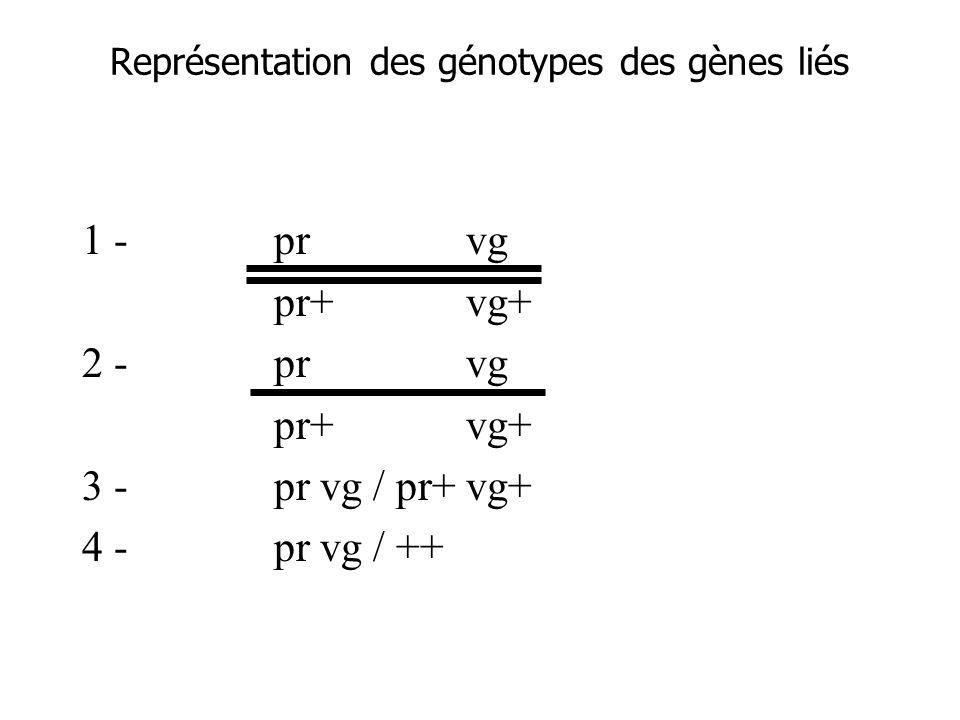 Représentation des génotypes des gènes liés 1 -prvg pr+vg+ 2 -prvg pr+vg+ 3 -pr vg / pr+ vg+ 4 -pr vg / ++