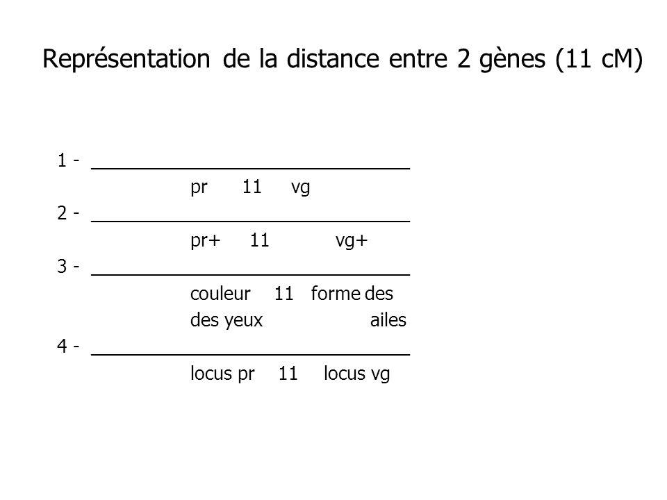 Représentation de la distance entre 2 gènes (11 cM) 1 - ___________________________ pr 11 vg 2 - ___________________________ pr+ 11 vg+ 3 - __________