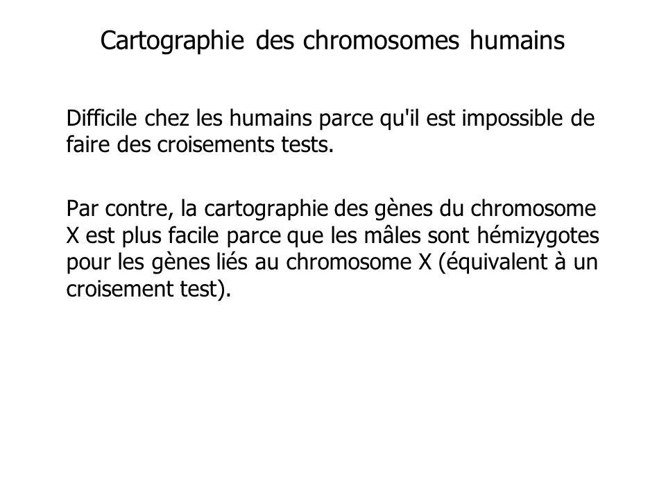 Cartographie des chromosomes humains Difficile chez les humains parce qu'il est impossible de faire des croisements tests. Par contre, la cartographie
