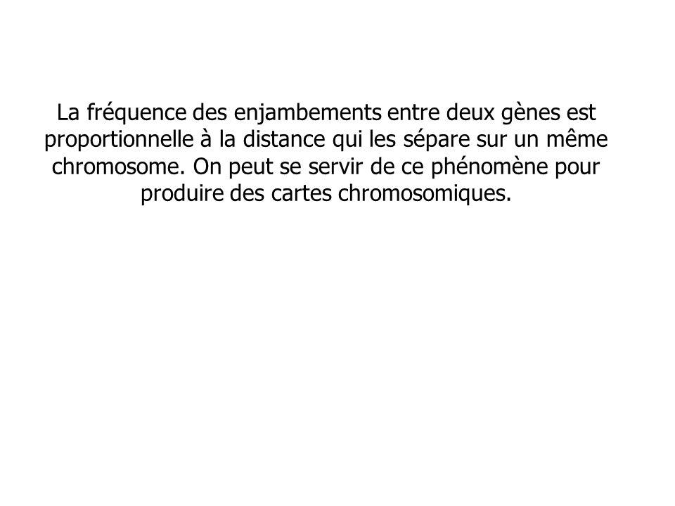 La fréquence des enjambements entre deux gènes est proportionnelle à la distance qui les sépare sur un même chromosome. On peut se servir de ce phénom
