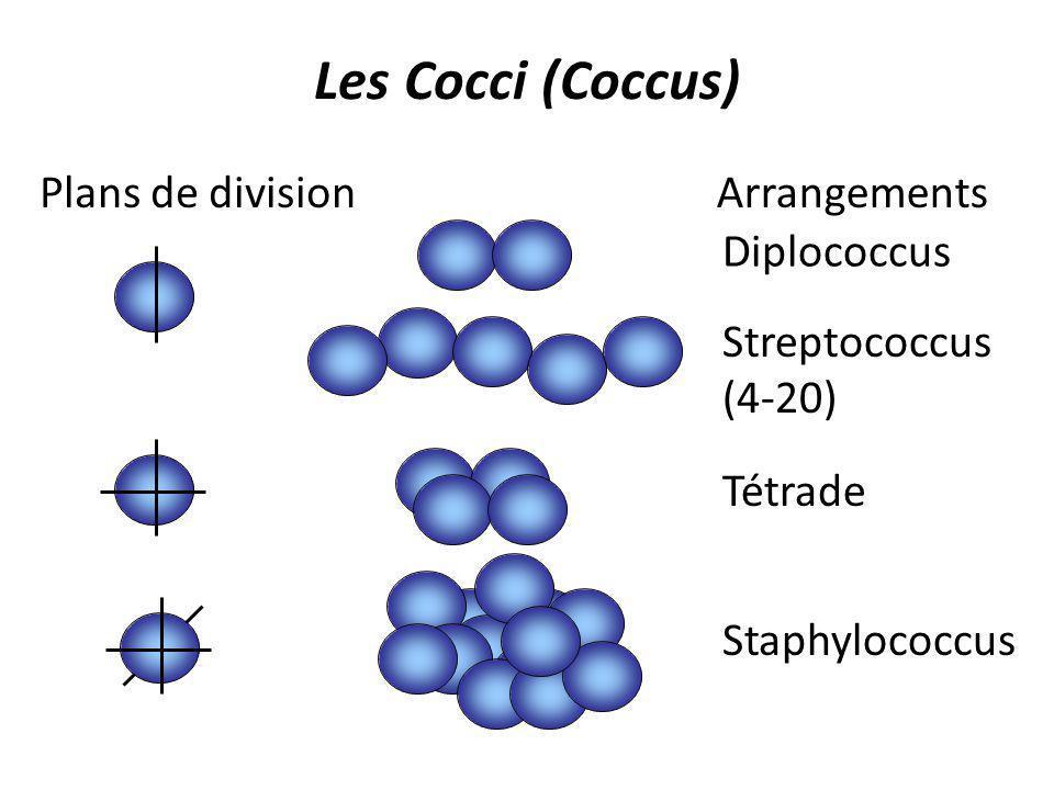 Les Cocci (Coccus) Diplococcus Streptococcus (4-20) Tétrade Staphylococcus ArrangementsPlans de division