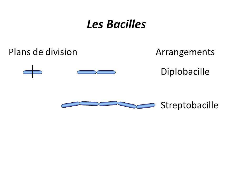 Les Bacilles Diplobacille Streptobacille ArrangementsPlans de division
