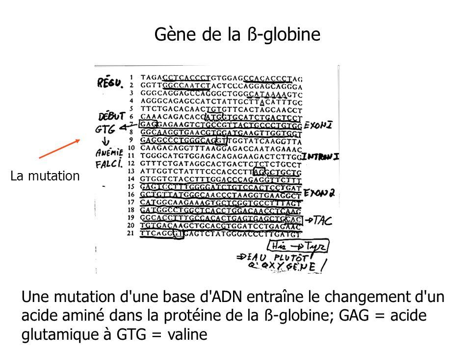 Gène de la ß-globine Une mutation d'une base d'ADN entraîne le changement d'un acide aminé dans la protéine de la ß-globine; GAG = acide glutamique à