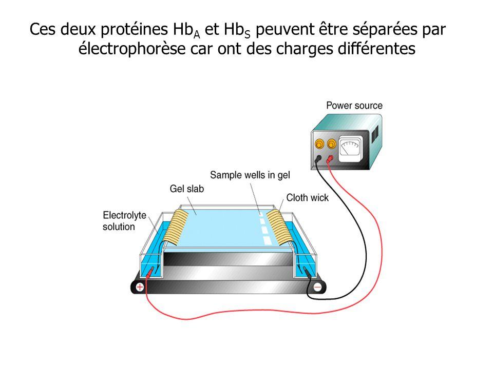 Ces deux protéines Hb A et Hb S peuvent être séparées par électrophorèse car ont des charges différentes