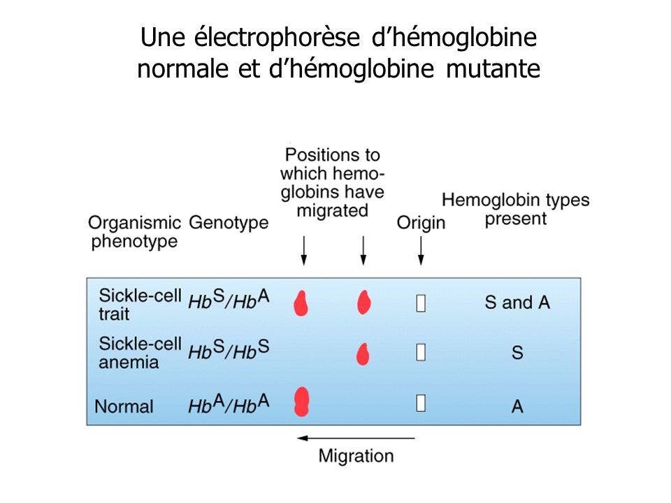 Une électrophorèse dhémoglobine normale et dhémoglobine mutante