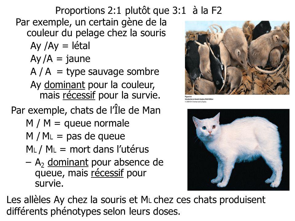 Proportions 2:1 plutôt que 3:1 à la F2 Par exemple, chats de lÎle de Man M / M = queue normale M / M L = pas de queue M L / M L = mort dans lutérus –A
