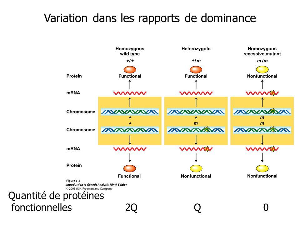 Les allèles récessifs létaux Un gène dont les mutations peuvent être létales est un gène essentiel.