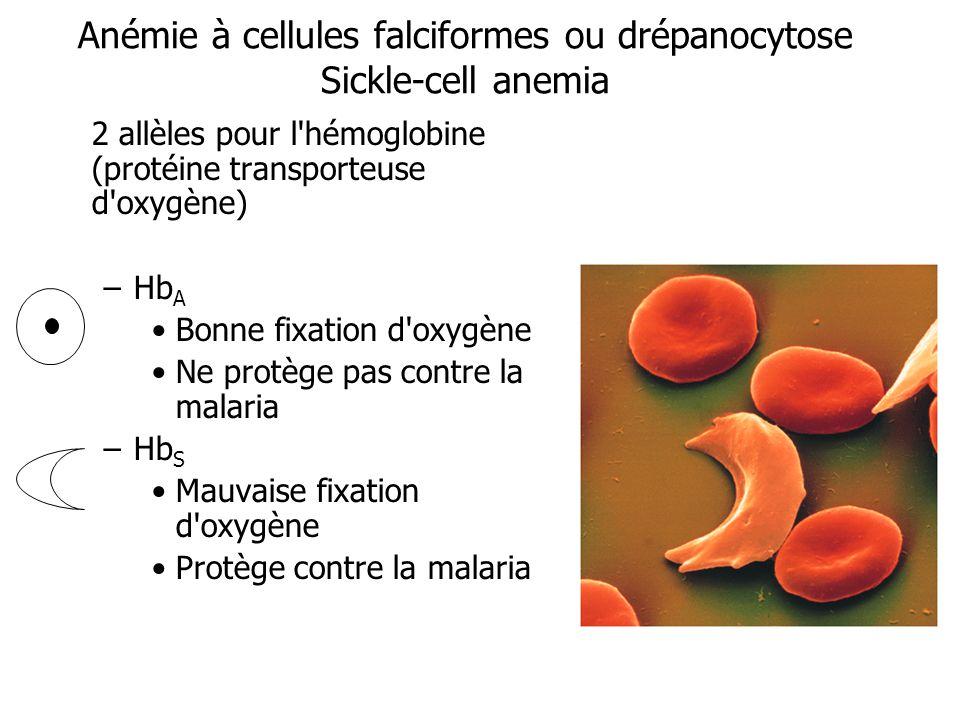 Anémie à cellules falciformes ou drépanocytose Sickle-cell anemia 2 allèles pour l'hémoglobine (protéine transporteuse d'oxygène) –Hb A Bonne fixation