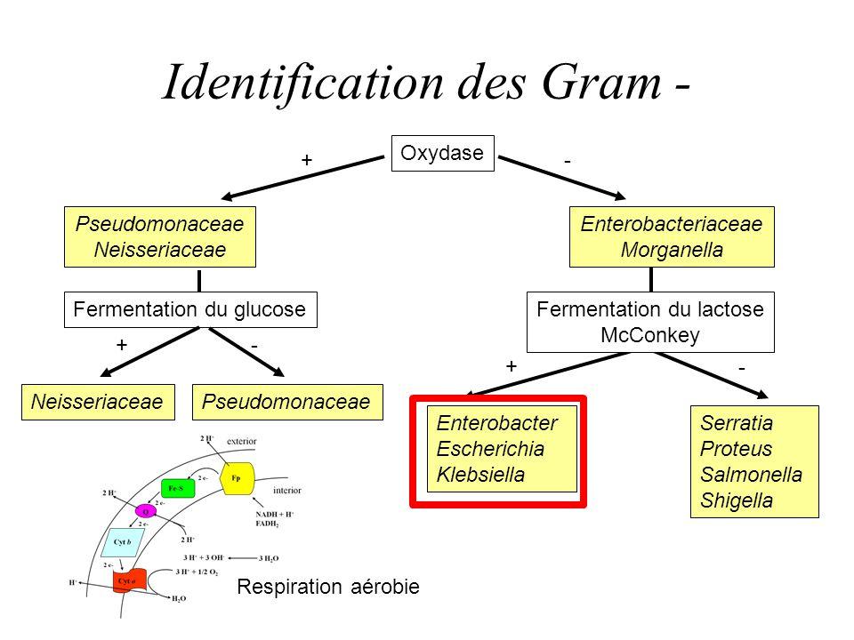 Identification des Gram - Oxydase Pseudomonaceae Neisseriaceae Fermentation du glucose PseudomonaceaeNeisseriaceae Enterobacter Escherichia Klebsiella