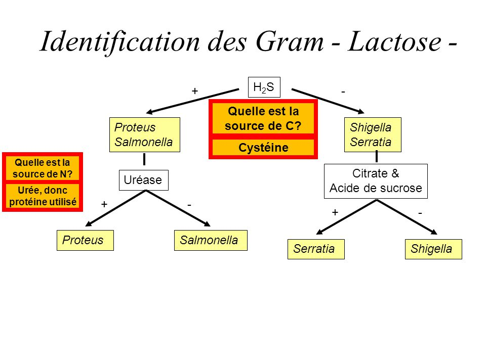 Identification des Gram - Lactose - H2SH2S Proteus Salmonella Uréase Shigella Serratia Shigella +- -+ Citrate & Acide de sucrose ProteusSalmonella -+