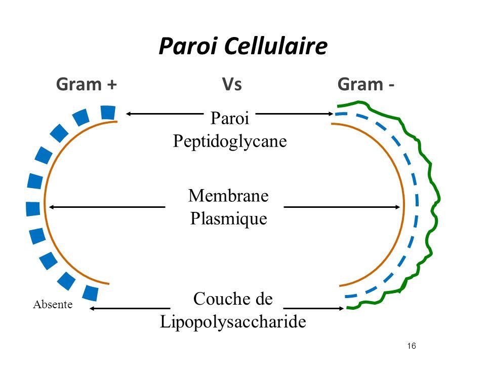 Paroi Cellulaire 16 Paroi Peptidoglycane Membrane Plasmique Couche de Lipopolysaccharide Absente Gram + Vs Gram -