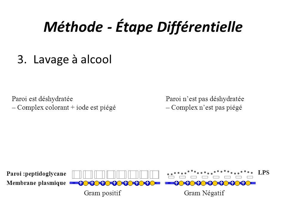 Méthode - Étape Différentielle 3.Lavage à alcool Gram positifGram Négatif - - - - - - - - - - - - - - - Membrane plasmique - - - - - - - - - - - - - - - Paroi :peptidoglycane LPS +++++++ +++++++ Paroi est déshydratée – Complex colorant + iode est piégé Paroi nest pas déshydratée – Complex nest pas piégé