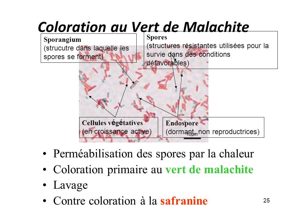 Coloration au Vert de Malachite Perméabilisation des spores par la chaleur Coloration primaire au vert de malachite Lavage Contre coloration à la safranine 25 Cellules v é g é tatives (en croissance active) Spores (structures résistantes utilisées pour la survie dans des conditions défavorables) Endospore (dormant, non reproductrices) Sporangium (strucutre dans laquelle les spores se forment)