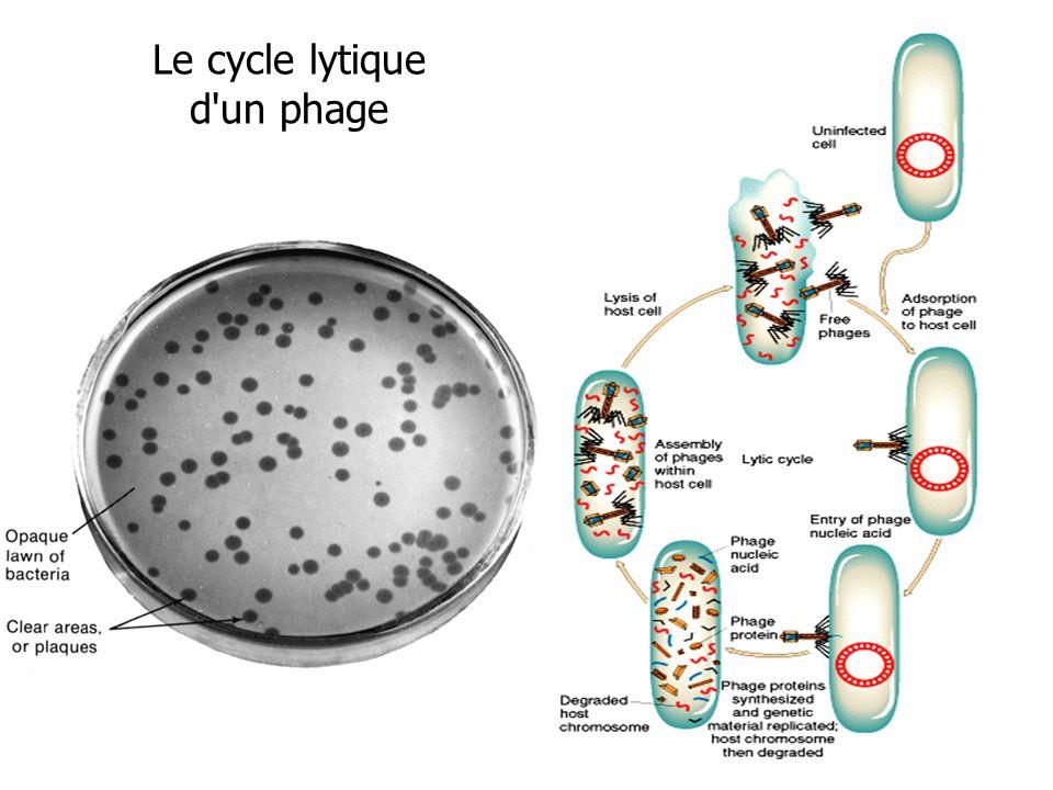 Le cycle lytique d'un phage
