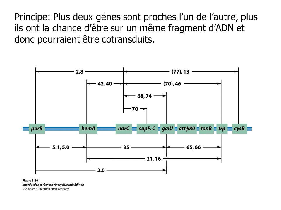 Principe: Plus deux génes sont proches lun de lautre, plus ils ont la chance dêtre sur un même fragment dADN et donc pourraient être cotransduits.
