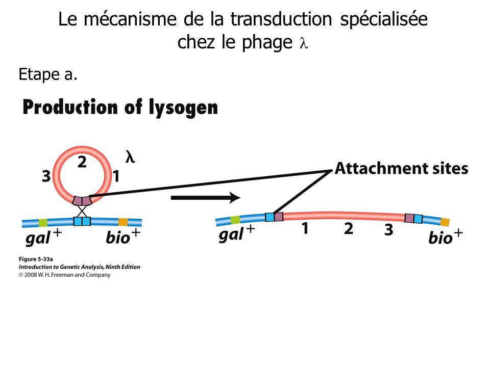 Le mécanisme de la transduction spécialisée chez le phage Etape a.