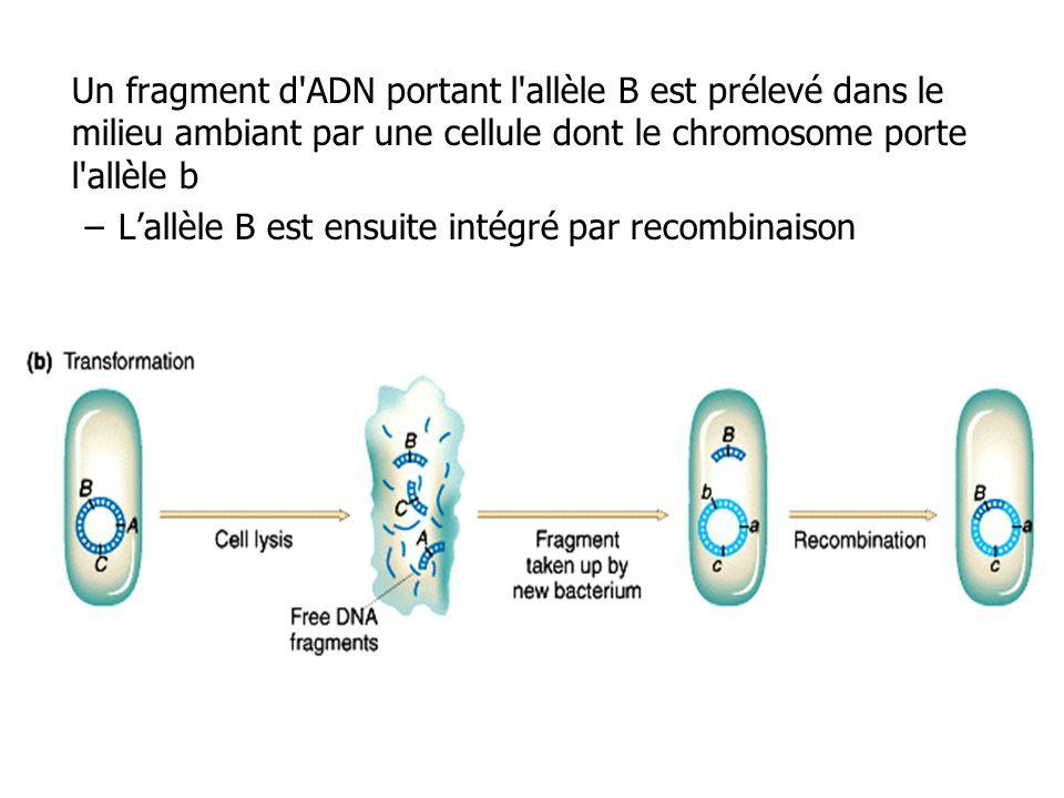 Un fragment d'ADN portant l'allèle B est prélevé dans le milieu ambiant par une cellule dont le chromosome porte l'allèle b –Lallèle B est ensuite int
