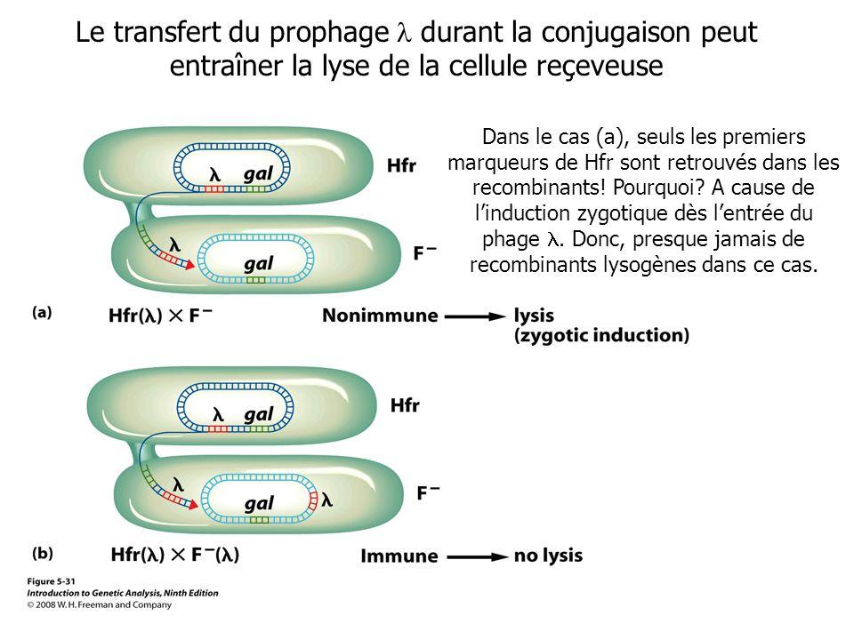 Le transfert du prophage durant la conjugaison peut entraîner la lyse de la cellule reçeveuse Dans le cas (a), seuls les premiers marqueurs de Hfr son