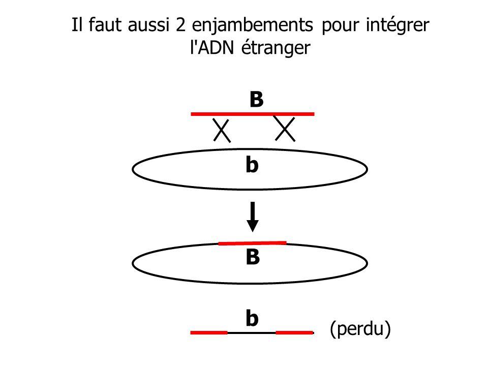 Il faut aussi 2 enjambements pour intégrer l'ADN étranger B B b b (perdu)