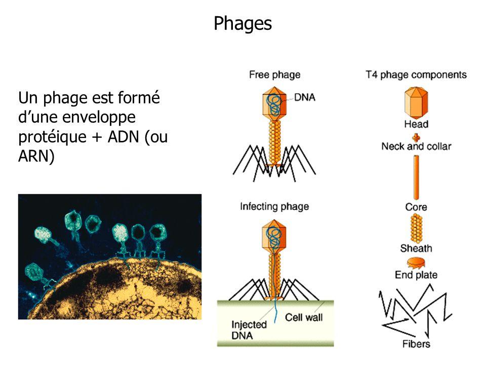 Phages Un phage est formé dune enveloppe protéique + ADN (ou ARN)