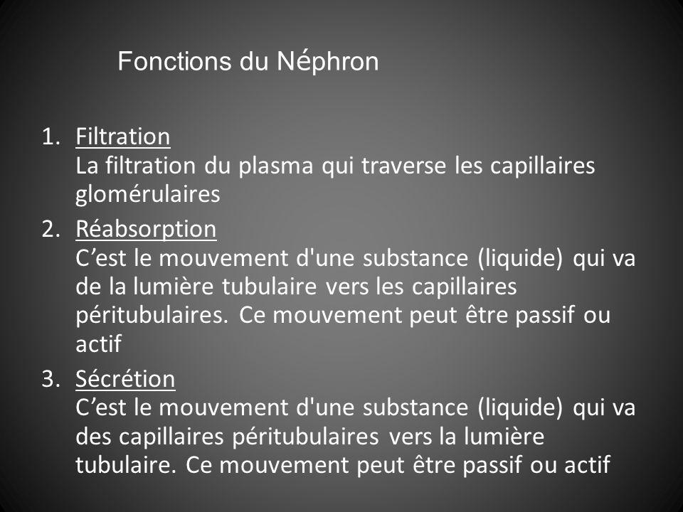 1.Filtration La filtration du plasma qui traverse les capillaires glomérulaires 2.Réabsorption Cest le mouvement d une substance (liquide) qui va de la lumière tubulaire vers les capillaires péritubulaires.