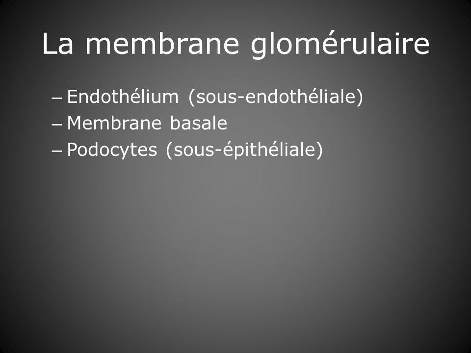 La membrane glomérulaire – Endothélium (sous-endothéliale) – Membrane basale – Podocytes (sous-épithéliale)