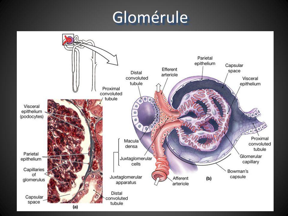 Glomérule