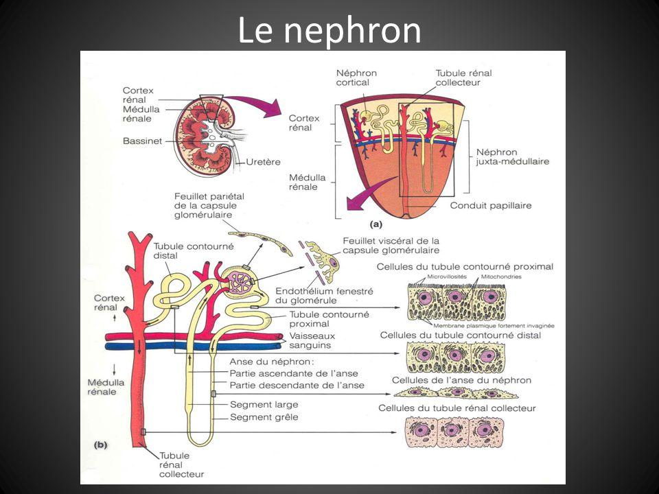 Le nephron