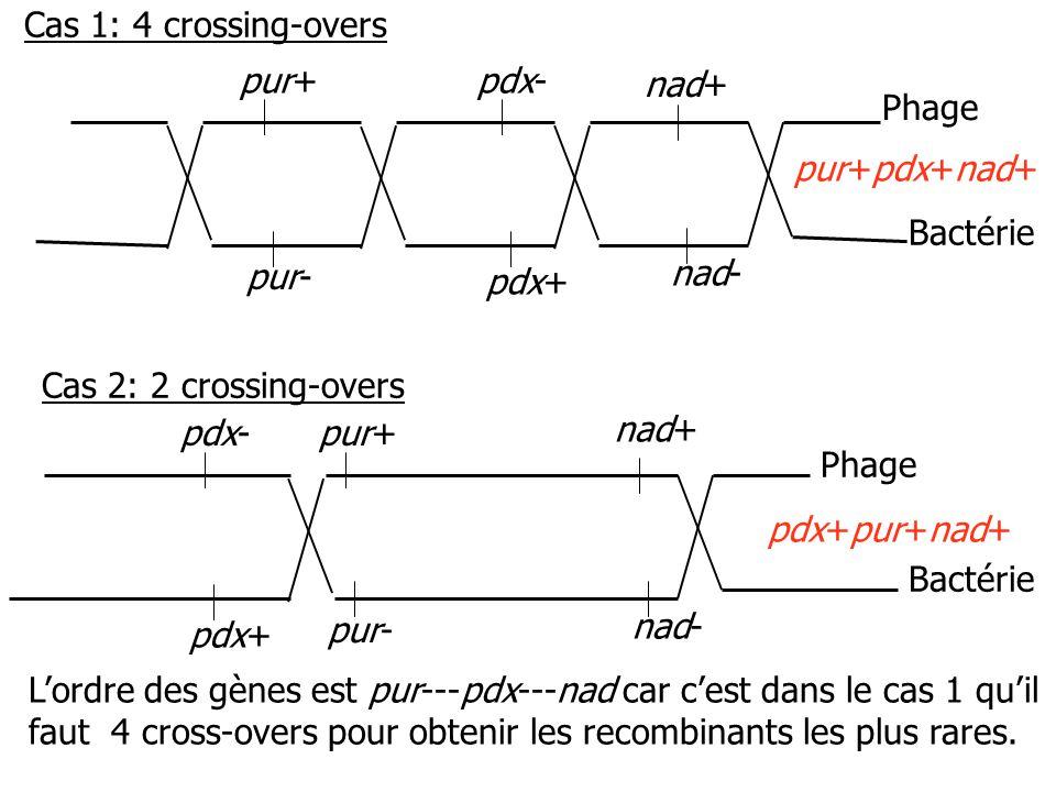 pur+pdx- nad+ pur- pdx+ nad- pur+ nad+ pur- nad- pdx- pdx+ pur+pdx+nad+ pdx+pur+nad+ Phage Bactérie Phage Bactérie Cas 1: 4 crossing-overs Cas 2: 2 crossing-overs Lordre des gènes est pur---pdx---nad car cest dans le cas 1 quil faut 4 cross-overs pour obtenir les recombinants les plus rares.