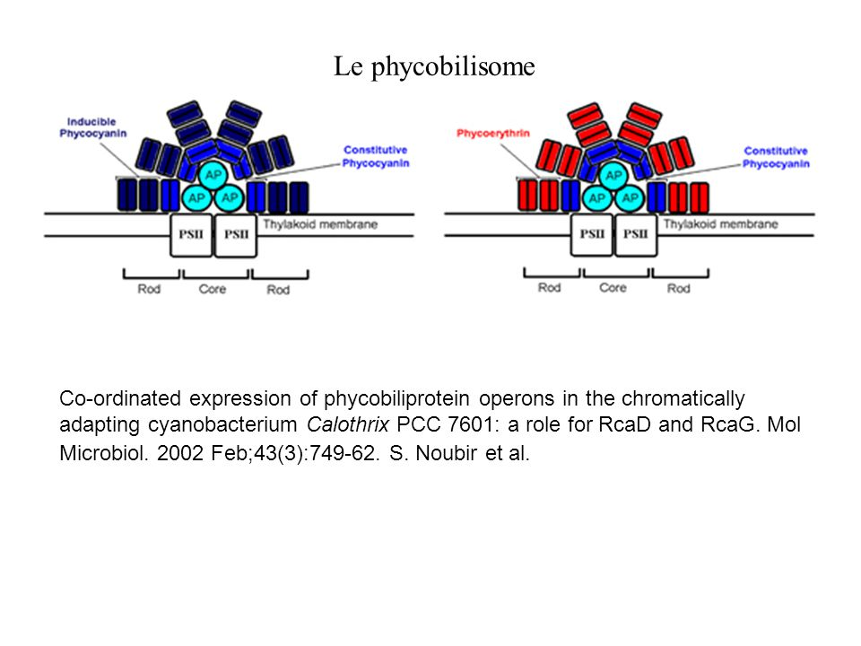 Le phycobilisome Co-ordinated expression of phycobiliprotein operons in the chromatically adapting cyanobacterium Calothrix PCC 7601: a role for RcaD and RcaG.