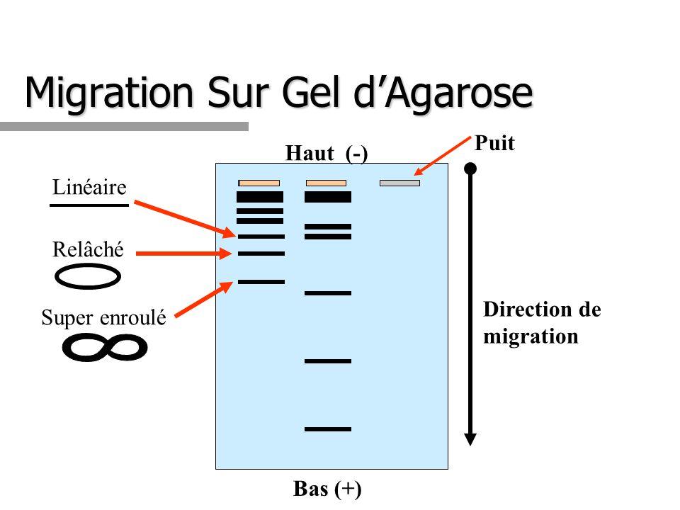 Migration Sur Gel dAgarose Puit Direction de migration Haut (-) Bas (+) Super enroulé Relâché Linéaire