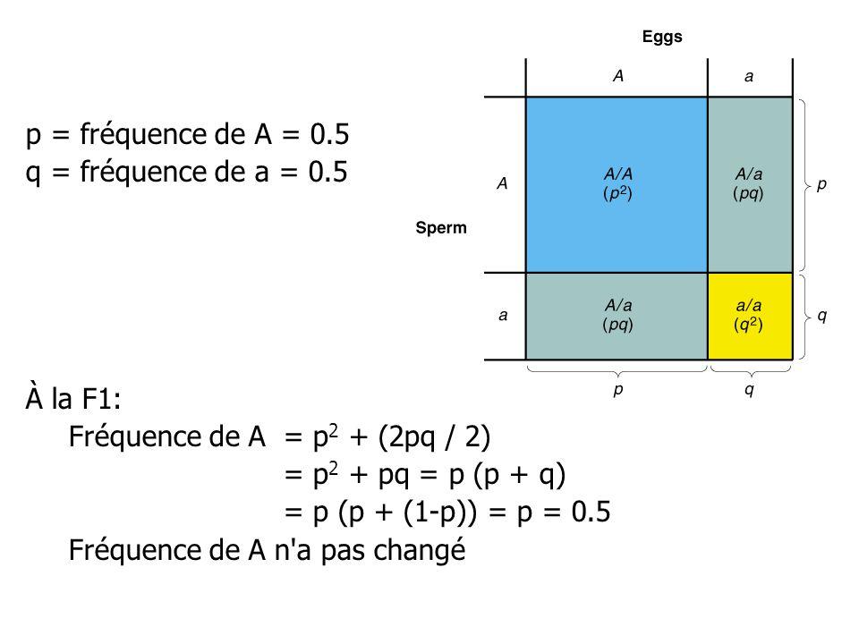 p = fréquence de A = 0.5 q = fréquence de a = 0.5 À la F1: Fréquence de A = p 2 + (2pq / 2) = p 2 + pq = p (p + q) = p (p + (1-p)) = p = 0.5 Fréquence de A n a pas changé