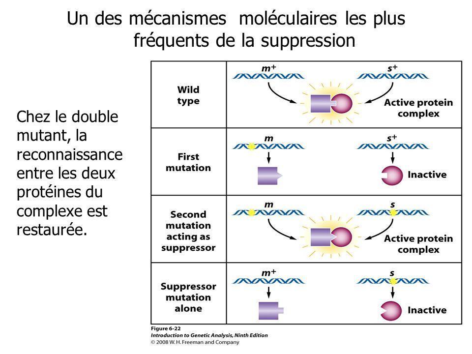 Un des mécanismes moléculaires les plus fréquents de la suppression Chez le double mutant, la reconnaissance entre les deux protéines du complexe est