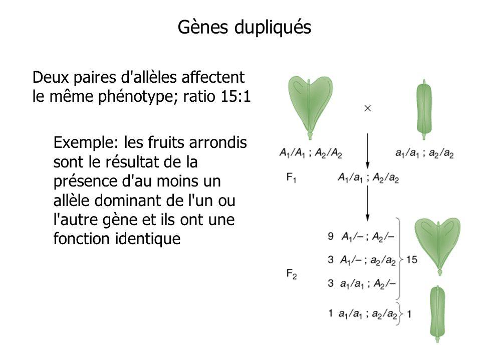 Gènes dupliqués Deux paires d'allèles affectent le même phénotype; ratio 15:1 Exemple: les fruits arrondis sont le résultat de la présence d'au moins