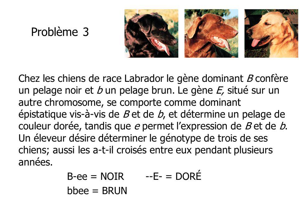 Problème 3 Chez les chiens de race Labrador le gène dominant B confère un pelage noir et b un pelage brun. Le gène E, situé sur un autre chromosome, s