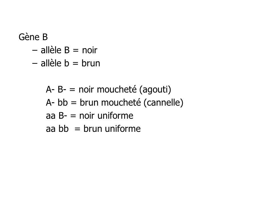 Gène B –allèle B = noir –allèle b = brun A- B- = noir moucheté (agouti) A- bb = brun moucheté (cannelle) aa B- = noir uniforme aa bb = brun uniforme