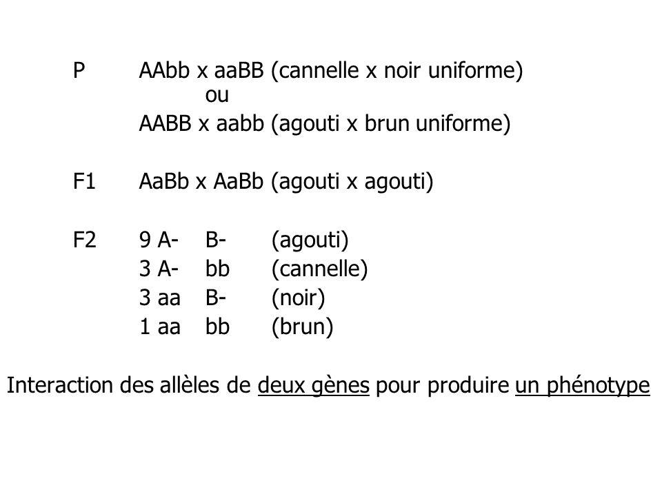 PAAbb x aaBB (cannelle x noir uniforme) ou AABB x aabb (agouti x brun uniforme) F1AaBb x AaBb (agouti x agouti) F29 A-B- (agouti) 3 A-bb(cannelle) 3 a