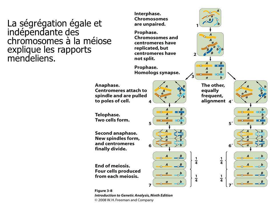 La ségrégation égale et indépendante des chromosomes à la méiose explique les rapports mendeliens.