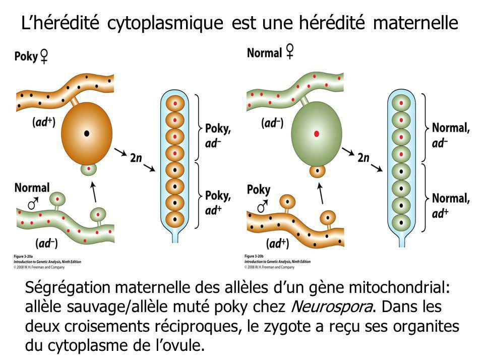Ségrégation maternelle des allèles dun gène mitochondrial: allèle sauvage/allèle muté poky chez Neurospora. Dans les deux croisements réciproques, le